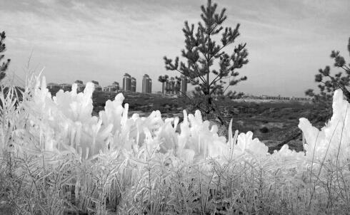 时间:7日11时 拍摄地点:横山县草海则附近 场景描述:昨日11时许,横山县草海则附近靠近凤凰新城的一处荒漠上,出现了一块冰花美景。原来此景是绿化带喷灌管道破裂,水溢出结冰形成的,仿佛是一夜之间为这些绿化树披上了白外套。这些冰花高约一米,长十余米,远远看去,白的晶莹剔透,美不胜收,吸引众多过路市民拍照留念...