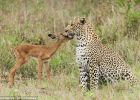 跨越食物链的友谊 猎豹和羚羊玩耍嬉戏