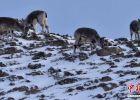 甘肃河西走廊现濒危物种岩羊 雪后觅食萌态十足