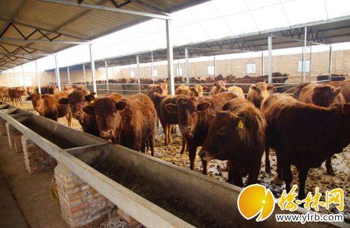 养牛成为产业扶贫一抓手