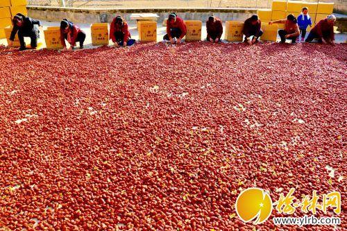 清涧枣农正在给丰收的红枣装箱。白潇摄