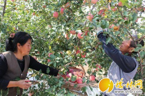 山地苹果丰收白潇摄