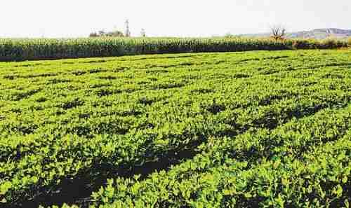 黄河半岛千亩花生基地