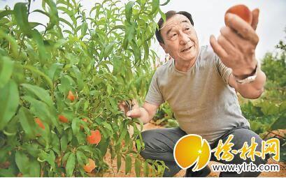 石光银采摘经济林中的桃子。