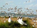 壮观!成千上万只遗鸥在红碱淖觅食嬉戏