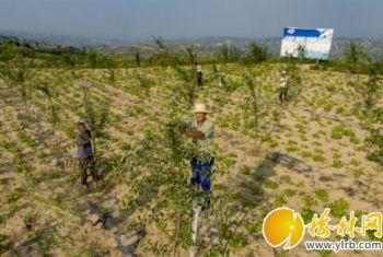 吴堡县大力推广种植山地苹果