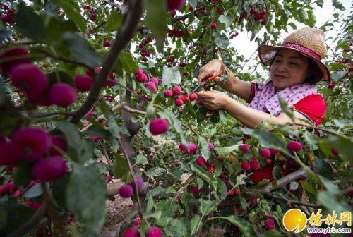 府谷县推进海红果产业做强做优