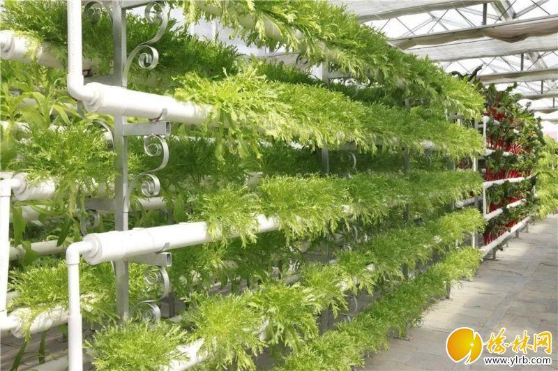 现代农业科技示范区里无土栽培蔬菜长势良好。
