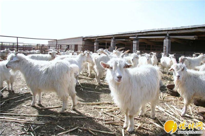 优质陕北白绒山羊为榆阳区成为全省第一养羊大县奠定了坚实的基础。
