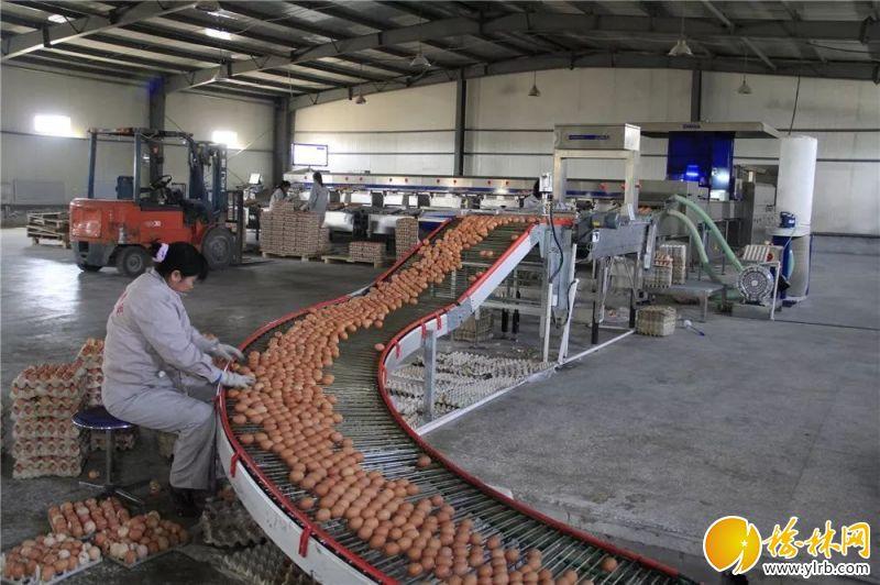 榆林春蕾绿色禽业有限公司包装车间。