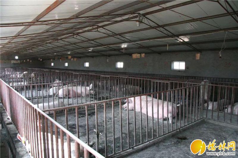 榆阳区马合镇麻生圐圙村养猪示范园。