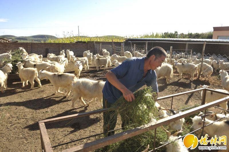 横山区山羊养殖大户