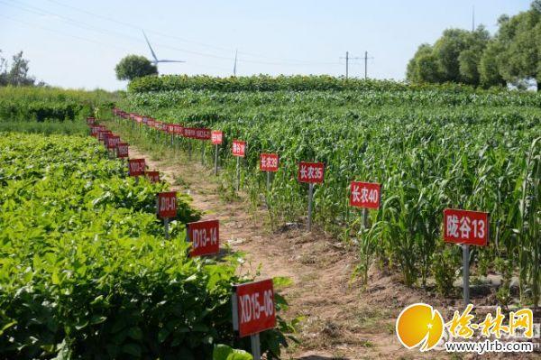 。靖边县王渠则镇小杂粮示范种植基地。