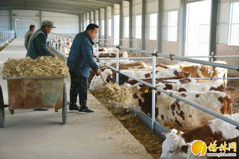 西寨村村党支部书记赵明秀和养殖场工人给牛喂食