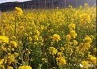 绥德2000亩油菜花开放,园区将举行特大活动