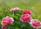黑龙潭牡丹开啦!娇美的花儿等你来赏哦~