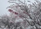 超美!当靖边桃花遇上雪......